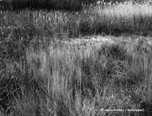 Bosque_grass and reeds_bw_DM_NatwebC.jpg