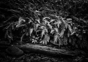Ferns of Cades Cove_DM_web.jpg