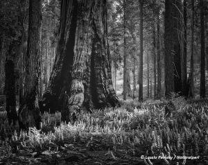 Sequoia_pinkflowers_1_pos_bw_dN_DMNatweb.jpg